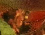 Schmetterlingsbuntbarsch Fräskopfwürmern