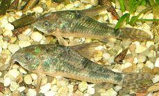 Geschwüre Corydoras paleatus