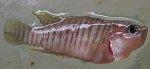 Toter Fische mit Haarwürmern
