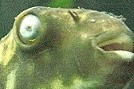 Pilzinfektion Kugelfisch