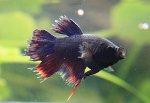 Kampffisch Ichthyo