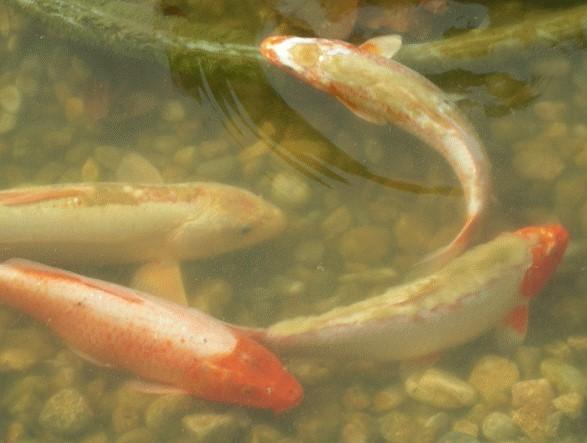 Karpfenpocken details fotos symptome und behandlung for Kois und goldfische in einem teich