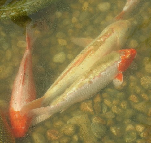 Diagnose krankheiten karpfenpocken details fotos und for Koi mit goldfischen