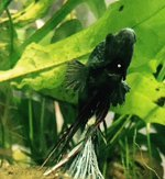 Kiemenwürmer Kampffisch