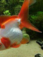 Goldfisch schwarze Flecken