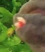 Buntbarsch mit Parasit