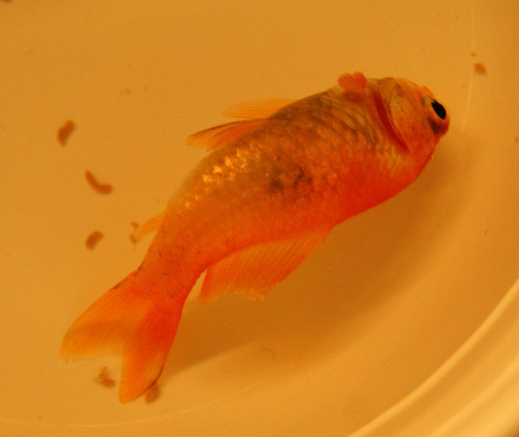 Diagnose krankheiten schwarze flecken bei fischen for Gartenteich mit goldfischen