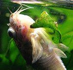 Corydoras paleatus mit bakterieller Infektion