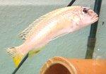 Viktoriabuntbarsch mit Fischtuberkulose