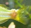 Tumor Regenbogenfisch