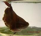Schleierkampffisch