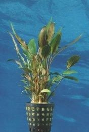 Dennerle Cryptocoryne beckettii - Beckett's Wasserkelch ' Top Qualität'- vom Fachmann NEU&OVP Aquarium Pflanze