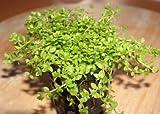 *Mühlan Wasserpflanzen 1 Topf Perlkraut, Vordergrundpflanze Aquarium