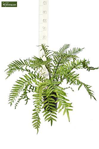 Wasserfarn - Blechnum minus - Frosthart Teichbepflanzung - Größe 60-100cm Topf Ø 22cm