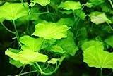 WFW wasserflora Japanisches Schaumkraut/Cardamine lyrata