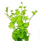 Japanisches Schaumkraut / Cardamine Lyrata - Pflanze für Aquarien, 3 Bund