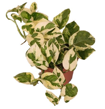Efeutute, Scindapsus, (Epipremnum aureum) Sorte: N'Joy, weiss buntes Blattwerk, rankend, Ampelpflanze, luftreinigend (eine Pflanze im 12cm Topf)