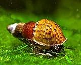 5 x Genoppte Turmdeckelschnecke - Melanoides granifera/Der lebende Bodengrundreiniger im Aquarium! + 1 x NH Schneckenfeed 10g
