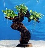 *Dennerle Urwaldbaum Mbuna GROß mit Anubia Nana