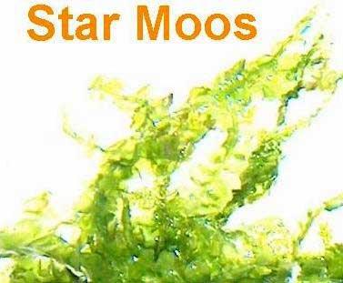 1 Portion Star Moos, 5x7 cm, Garnelen Moose, Aquariumpflanzen, Wasserpflanzen