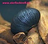 Zierfischtreff.de Antrazit - Napfschnecke Neritina pulligera 10 Stück - TOP Algenfresser Antrazitschnecke - Antrazit Schnecke