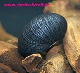 Zierfischtreff.de Antrazit - Napfschnecke Neritina pulligera 5 Stück - TOP Algenfresser Antrazitschnecke + eine Futterprobe der Bayerischen Aquaristikmanufaktur