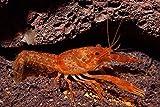 Garnelen Tom Oranger Zwergflußkrebs - CPO (DNZ) - EIN Paar (Männchen & Weibchen)