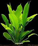 WFW wasserflora 2 Bunde Groe Amazonas-Schwertpflanze/Echinodorus bleheri, Aquariumpflanze, barschfest