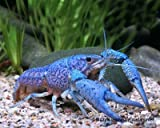 *Garnelio - Blauer Floridakrebs - Procambarus alleni - 1 Pärchen