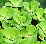 *Muschelblume - Wassersalat - Grüne Wasserrose/Pistia stratiotes