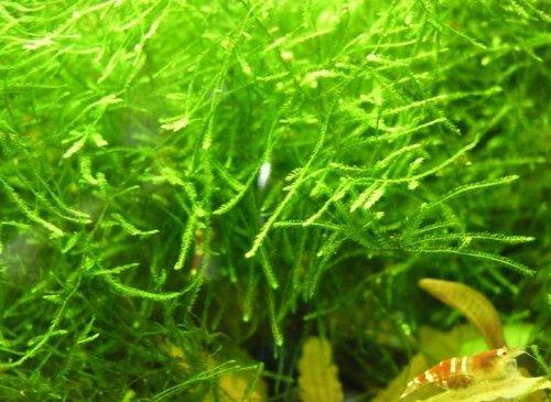 Javamoos / Vesicularia dubyana in einer 125 ml Dose