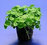 WFW wasserflora Amerikanischer Wassernabel/Hydrocotyle verticillata