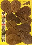 10 Stück Original Seemandelbaumblätter 10cm Catappa Leaves - TOP Qualität - 10-1000 Stück (10)