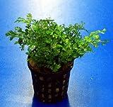Mini-Bolbitis, Mini-Wasserfarn / Bolbitis (heteroclita) difformis