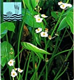 Breitblättriges Pfeilkraut / Sagittaria latifolia im 9x9 cm Topf