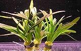 WFW wasserflora Kleines flutendes Pfeilkraut/Sagittaria Sabulata