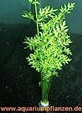 1 Bund Hornfarn, Ceratopteris cornuta, Sumatrafarn