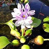Green Seeds Co. 100 stcke Wasserhyazinthe bonsai Topf bonsai Blume bonsai Bonsai Garten Uhr Zier Wasserpflanzen Japanischen Mini Hause Teich Plan: Burgund