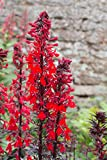 Lobelia cardinalis 100 Samen, Kardinals-Lobelie, Scharlachrote Lobelie - absolut winterhart