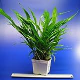 *WFW wasserflora MUTTERPFLANZE Javafarn/Microsorum pteropus