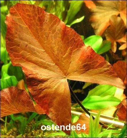 Roter Tigerlotus Knolle+Trieb / Nymphaea lotus var. rubra