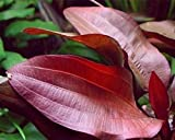 WFW wasserflora Intensiv wein-rote Echinodorus Regine Hildebrandt