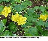 WFW wasserflora Europäische Gelbe Seekanne/Nymphoides peltata im 9x9 cm Topf