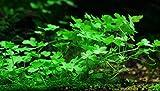 Dreiteiliger Wassernabel / Hydrocotyle tripartita (sp. Japan) - im Bund