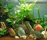 Mühlan - Wasserpflanzensortiment für Diskusfreunde, südamerikanisch, temperaturbeständig, dekorativ inkl. Dünger