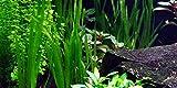 3 Bunde Vallisnerien, Vallisneria, Aquariumpflanze
