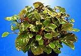 *WFW wasserflora Zwerg-Kardinalslobelie/Lobelia cardinalis Mini NEU!