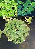 *3er Set Schwimmpflanzen je 1x Muschelblume, Froschbiss, Wassernuss