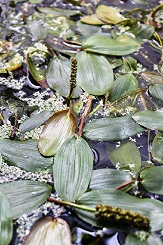 4er-Set im Gratis-Pflanzkorb - Potamogeton natans - Schwimmendes Laichkraut - Wasserpflanzen Wolff