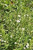 2er-Set - Gratiola officinalis - Gottes-Gnadenkraut, wei - Wasserpflanzen Wolff